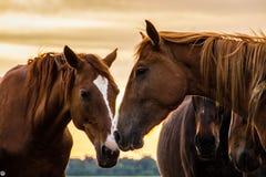 Un troupeau de chevaux frôle et gambade les uns avec les autres au coucher du soleil photos stock