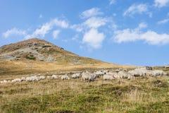 Un troupeau de filtrent frôlant sur des collines de montagne Image stock