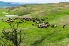 Un troupeau de frôler des moutons Images libres de droits