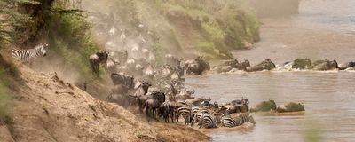 Un troupeau de gnou et les zèbres emballent pour croiser le Nil pendant la migration de gnou photographie stock