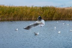 Un troupeau de grandes mouettes blanches en automne se garent pêchent dans le lac Photos stock