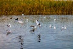 Un troupeau de grandes mouettes blanches en automne se garent pêchent dans le lac Photo libre de droits