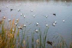 Un troupeau de grandes mouettes blanches en automne se garent pêchent dans le lac Image stock