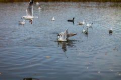 Un troupeau de grandes mouettes blanches en automne se garent pêchent dans le lac Image libre de droits