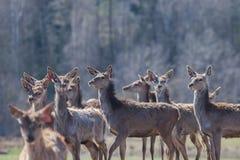 Un troupeau de jeunes cerfs communs dans la réservation Images stock