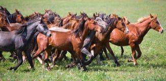 Un troupeau de jeunes chevaux Images stock