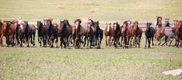 Un troupeau de jeunes chevaux Photo stock