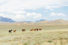 Un troupeau de jeunes chevaux bruns fonctionnant à travers le champ Été, dehors Images libres de droits