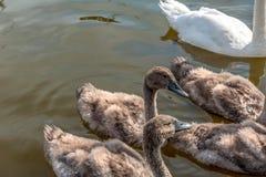 Un troupeau de jeunes cygnes foncés images libres de droits