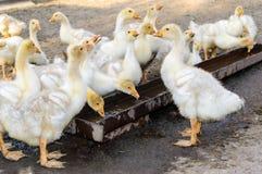 Un troupeau de jeunes oies blanches, l'eau de boissons sur le fond de la nature Images stock
