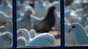 Un troupeau de la consommation de pigeons clips vidéos