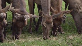 un troupeau de marals d'Altai banque de vidéos