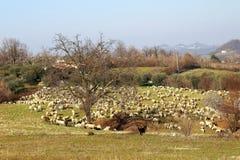 Un troupeau de moutons Images libres de droits