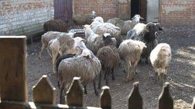 Un troupeau de moutons domestiques avec de longs cheveux frôlant dans un stylo derrière la barrière un jour ensoleillé d'été 4K banque de vidéos