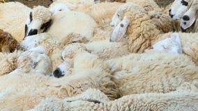 Un troupeau de moutons se repose dans le maedow d'ombre un jour beau ensoleillé clips vidéos