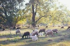 Un troupeau de moutons sur le champ près de la forêt dans les lumières Photo stock