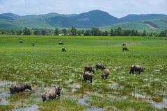 Un troupeau de pâturage du ` s de buffle Image libre de droits