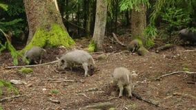 Un troupeau de petits sangliers frôle dans la forêt banque de vidéos