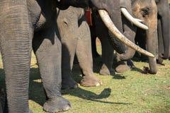 Un troupeau de plan rapproché d'éléphants Éléphant de l'Asie Images stock
