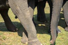Un troupeau de plan rapproché d'éléphants Éléphant de l'Asie Image libre de droits
