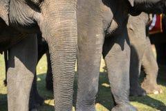 Un troupeau de plan rapproché d'éléphants Éléphant de l'Asie Photo stock
