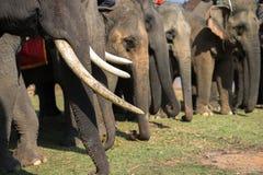 Un troupeau de plan rapproché d'éléphants Éléphant de l'Asie Photo libre de droits