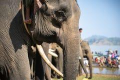 Un troupeau de plan rapproché d'éléphants Éléphant de l'Asie Photographie stock libre de droits