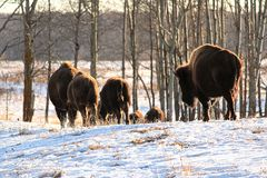 Un troupeau de promenade de buffle loin pendant l'hiver froid Photos libres de droits