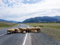 Un troupeau de RAM sur la route image stock