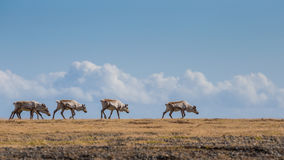 Un troupeau de renne est trekking au-dessus de la prairie dans le sud-est I Image libre de droits