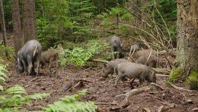 Un troupeau de sangliers frôle pendant la vie sauvage de forêt de la forêt banque de vidéos