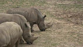 Un troupeau de simum de simum de Ceratotherium d'herbe verte de consommation de rhinocéros clips vidéos