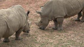 Un troupeau de simum de simum de Ceratotherium d'herbe verte de consommation de rhinoc?ros banque de vidéos