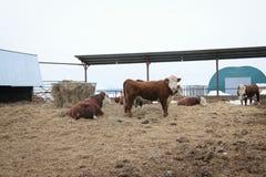 Un troupeau de taureaux sur un champ du ` s d'agriculteur Photos stock