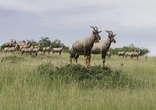 Un troupeau de Topi d'antilope Photographie stock libre de droits