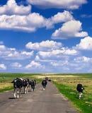 Un troupeau de vache dans la prairie Photo libre de droits