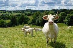 Un troupeau de vache du charolais avec un petit veau Image stock