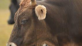 Un troupeau de vaches dans un pré de montagne banque de vidéos