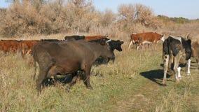 Un troupeau de vaches frôlant dans le pré pendant l'automne profond clips vidéos