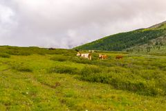 Un troupeau de vaches multicolores frôlent sur un pré vert un résumé ensoleillé image stock
