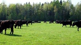 Un troupeau de vaches multiplient Angus noir frôlant dans un domaine vert banque de vidéos
