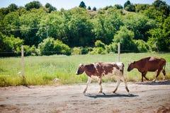 Un troupeau de vaches sur la route rentrant à la maison image libre de droits