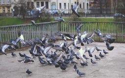Un troupeau de vol des pigeons Photographie stock libre de droits