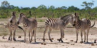 Un troupeau de zèbre sur les plaines poussiéreuses en parc national d'Etosha Images libres de droits