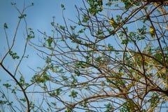 Un troupeau des alimentations de perroquets de Kramer photo stock
