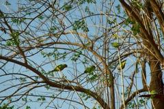 Un troupeau des alimentations de perroquets de Kramer photo libre de droits