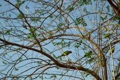 Un troupeau des alimentations de perroquets de Kramer images stock