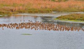 Un troupeau des bécasseaux Photo libre de droits