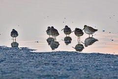 Un troupeau des bécasseaux se reposant sur l'eau peu profonde Image stock