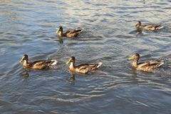 Un troupeau des canards bruns flottant sur la rivière photographie stock
